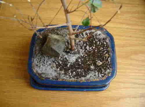 pilze spinnmilben oder was anderes bonsai info archiv. Black Bedroom Furniture Sets. Home Design Ideas