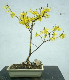 forsythie bonsai info archiv. Black Bedroom Furniture Sets. Home Design Ideas